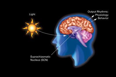Sincronización del reloj biológico a través del núcleo supraquiasmático.