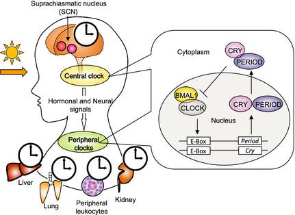 Modelo del reloj circadiano en mamíferos