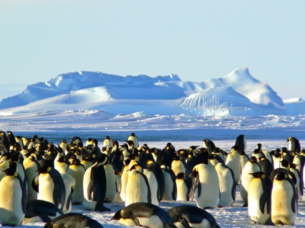 emperor-penguins-429127_960_720