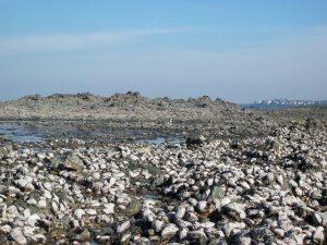 Colonisation par les huîtres sur les rochers autour du Roc à Granville (@SMEL)