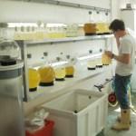 Vincent dans la salle de production de phytoplancton (SMEL)