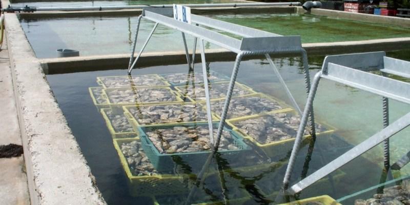Bassin de stockage conchylicole avant décantation (@SMEL)