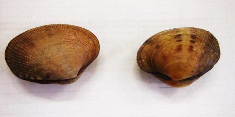 Les deux espèces de palourdes, à gauche la palourde européenne (Ruditapes decussatus), à droite la palourde japonaise (Ruditapes philippinarum). La première est plus anguleuse et moins globuleuse (crédits photo F. Beck).