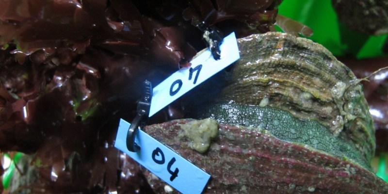 Ormeaux (Haliotis tuberculata) dans les bassins du centre expérimental du SMEL (@SMEL)