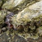 L'huître creuse change de nom