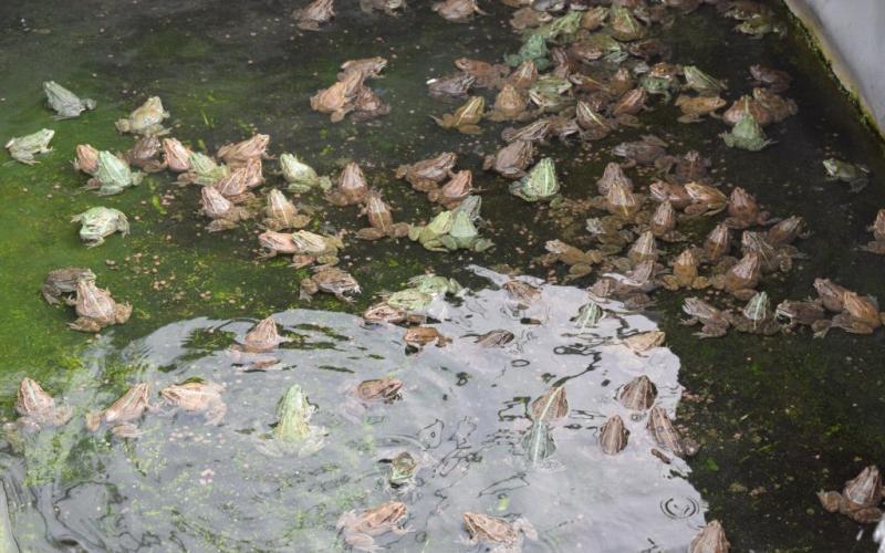 Grenouilles adultes chez Normandy Frog (@SMEL)