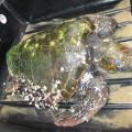 Une tortue caouanne retrouvée morte sur la plage de Donville les bains.