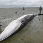 Une jeune femelle Rorqual échouée à Brevands, en Baie des Veys.