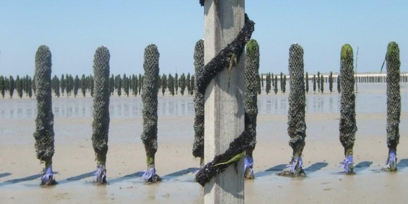 Corde de jeunes moules enroulée sur pieu (@SMEL)