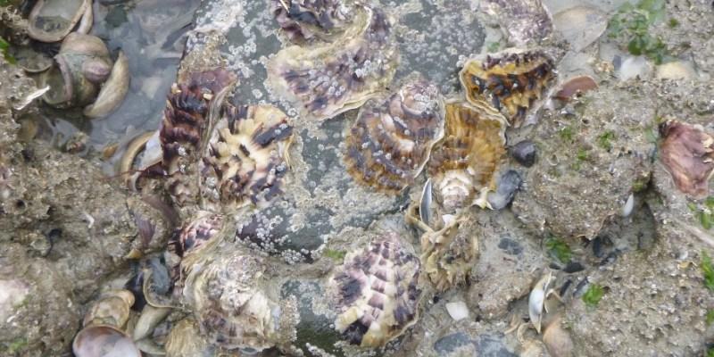 Captage d'huîtres sur une pêcherie à Granville (@SMEL)