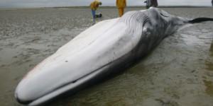 Bilan 2017 pour le SMEL sur les échouages de mammifères marins dans la Manche.