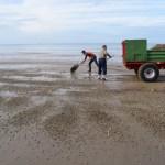 Les coques : une nouvelle activité conchylicole dans le Calvados