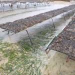 Restauration des herbiers de zostères dans l'ouest Cotentin.