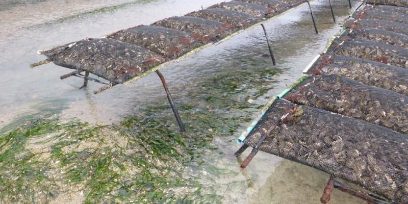 Zostère se développant en cohabitation avec l'ostréiculture (Blainville-sur-mer, 50, Manche)