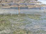 Un impact limité de l'ostréiculture sur les zostères