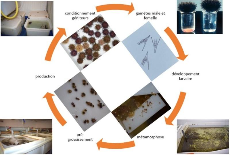 Cycle d'élevage des oursins en conditions contrôlées (@SMEL)