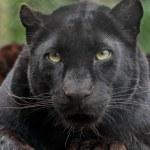ebony black leopard IMG_9212