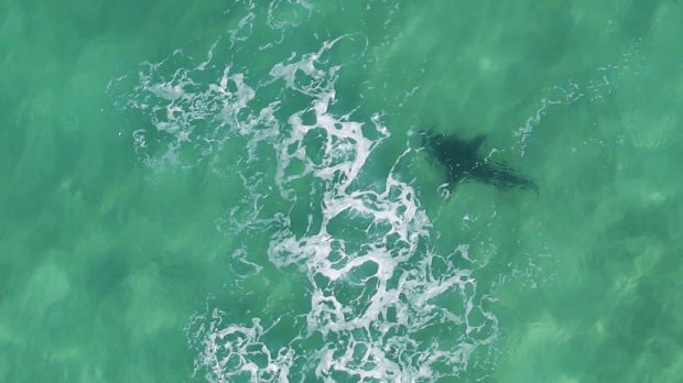 A large shark roaming the beaches of Newcastle was spotted chasing a dolphin.
