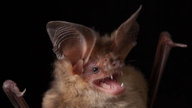 Nyctophylus gouldi, Gould's Long-eared Bat.