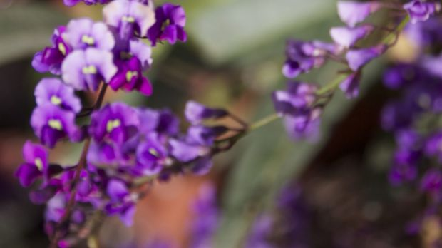 Hardenbergia accept frost, deep frost, slopes, shallow soil, good soil, gardeners who cosset them with mulch and those ...