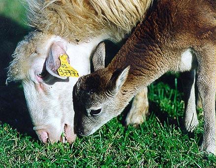 7. Ombretta the Mouflon
