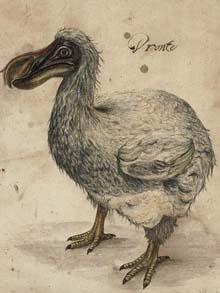 Extinct Dodo Image.