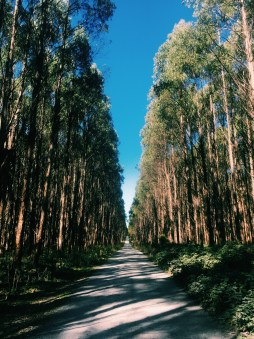 Tall trees in Tarkine Drive
