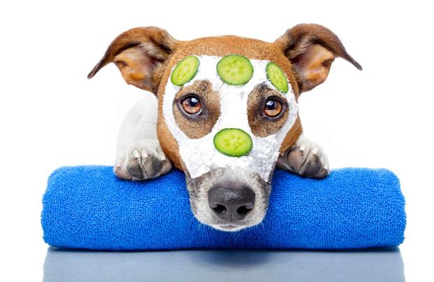 Get pampered for pit bulls