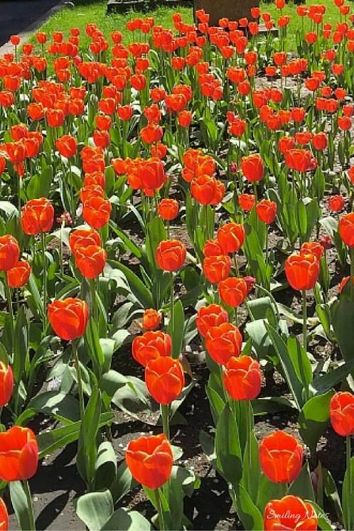 tulips spring new york