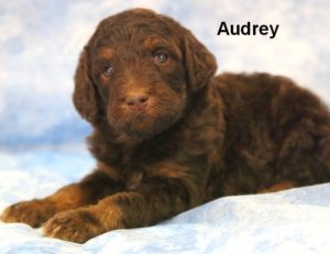Standard Poodles For Sale – Poodle Puppies   Smith Standard
