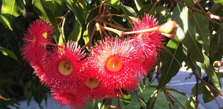 Pink gum tree flowers in Perth