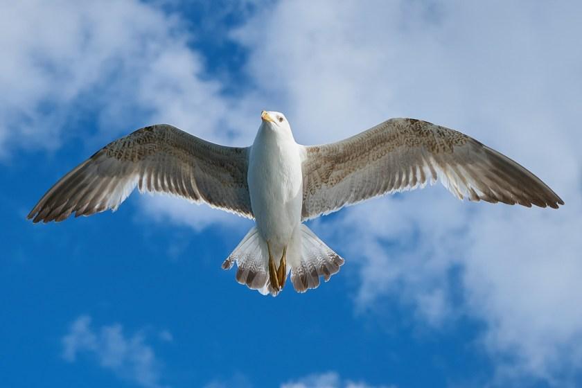 seagull-1511862_1920