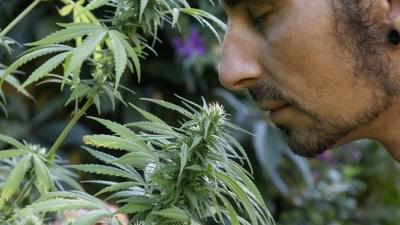 cientistas descobrem cheiro sabor cannabis maconha smokebuddies Tipo Vinho: Cientistas descobrem genes que determinam sabor da maconha
