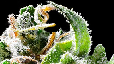 flor close thcamera Cannabis Affair: Evento aborda aspectos que envolvem uso e aplicações da maconha