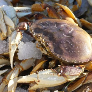 Live American Dungeness Crab