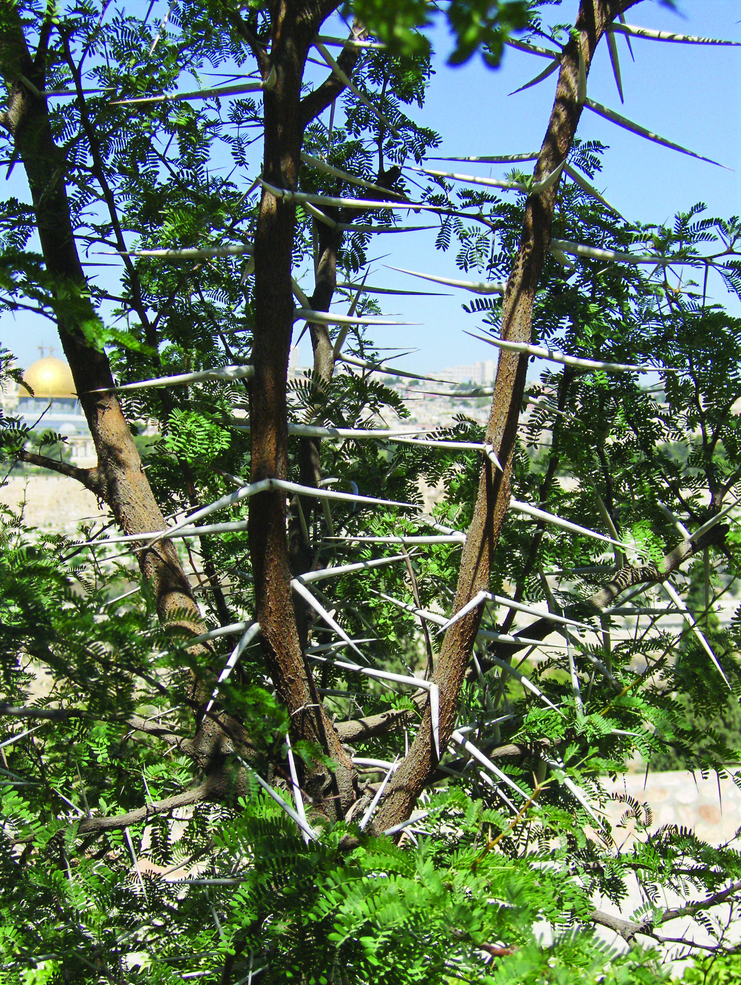 Thorn Tree In Israel