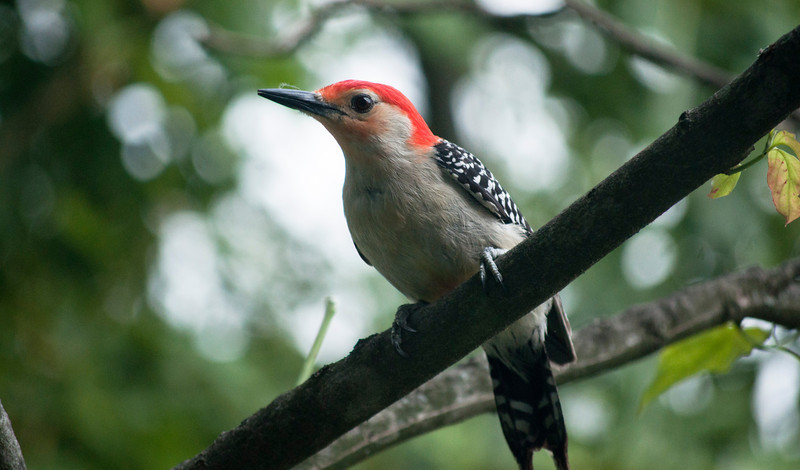 A male Red-bellied Woodpecker, sitting in a dogwood tree.