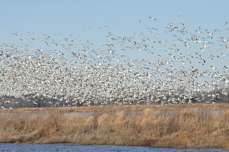 A flock of snow geese takes off from a marsh at the Blackwater Wildlife Refuge in Maryland.