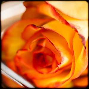 Red and yellow rose, photo © 2014 Douglas M. Ford. All rights reserved.