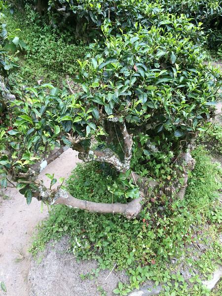 Tea Bushes in Cameron Highlands