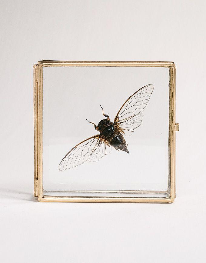 Cicade in glazen doosje