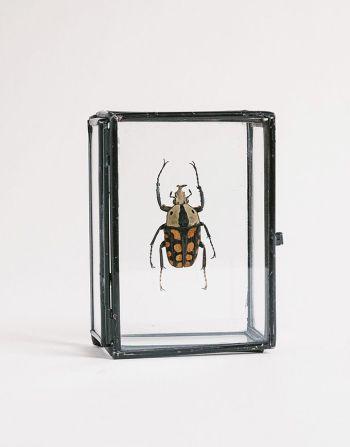 Mecynorhina passerinii in glazen doosje