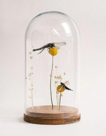 Zwarte heide libelle in glazen stolp
