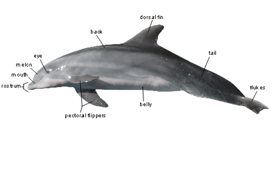 Basic Anatomy - Bottlenose Dolphin - Adventures With FL Sealife From ...