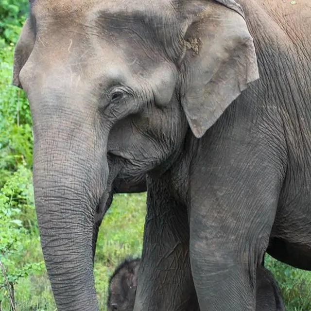 elepahnts, uda walawe national park, sri lanka