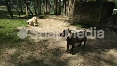 Animal, Building, Bull, Canine, Cattle, Child, Cow, Dog, Female, Forest, Girl, Goat, Grass, Ground, Grove, Horse, Housing, Hyena, Jungle, Kid, Land, Lawn, Leaf, Mammal, Mountain Goat, Nature