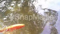 Apparel, Aquatic, Fish, Goldfish, Gravel, Nature, Sunlight, Water