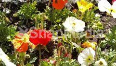 Anemone, Anther, Araceae, Asteraceae, Bazaar, Blossom, Bud, Dahlia, Daisies, Daisy, Field, Flower, Garden, Geranium, Herbal