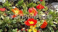 Poppy,Petal,Hibiscus,Flower,Dahlia,Blossom