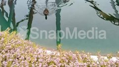 Shoreline,Pond,Outdoors,Mallard,Lake,Flower,Duck,Blossom